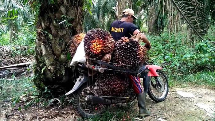Konflik lahan kelapa sawit bisa menghambat produksi