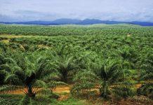 Perkebunan kelapa sawit bukan hasil dari deforestasi. Foto : Internet