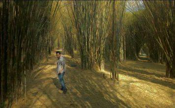 Tanaman bambu cocok untuk ditanam guna merehabilitasi lahan. Foto : Travpacker Indonesia