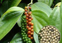 Vietnam mampu produksi lada mencapai puluhan kilogram per batang karena menerapkan konsep budi daya lada ramah lingkungan. Foto : dasar-pertanian.blogspot.com