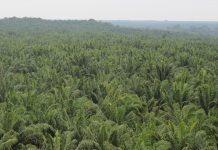 Salah satu subtansi isi yang perlu ditinjau ulang menyangkut pengecualian perkebunan sawit masyarakat dalam konteks lahan garapan yang bisa disertifikasi. Foto : Jos/tropis.co