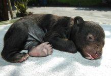 Beruang madu merupakan satwa dilindungi yang kerap menjadi sasaran perburuan di Provinsi Riau. Foto : Drh. Fira Sovica