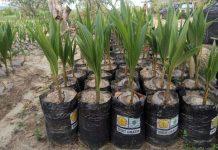 Pemerintah telah melakukan berbagai regulasi terkait revitalisasi dan kebangkitan rempah nasional dengan memproduksi benih komoditas perkebunan yang unggul dan bersertifikat untuk didistribusikan kepada petani Indonesia secara gratis. Foto : Kementan