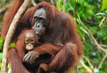 Kelestarian satwa orangutan Sumatera jadi perhatian serius KLHK dalam pembangunan PLTA Batang Toru. Foto : Leuser Conservation Partnership