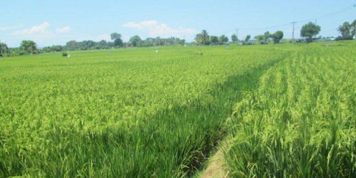Ditargetkan sawah organik di Purwakarta mencapai 1.000 hektare. Foto : Kompas