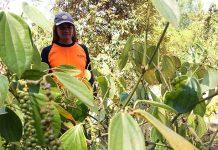 Menteri Pertanian Andi Aman Sulaiman mengapresiasi pengembangan inovasi modifikasi teknologi agronomi tanaman lada perdu sebagai teknologi alternatif di tengah pengembangan teknologi lada melalui tiang panjat. Foto : Radar Solo