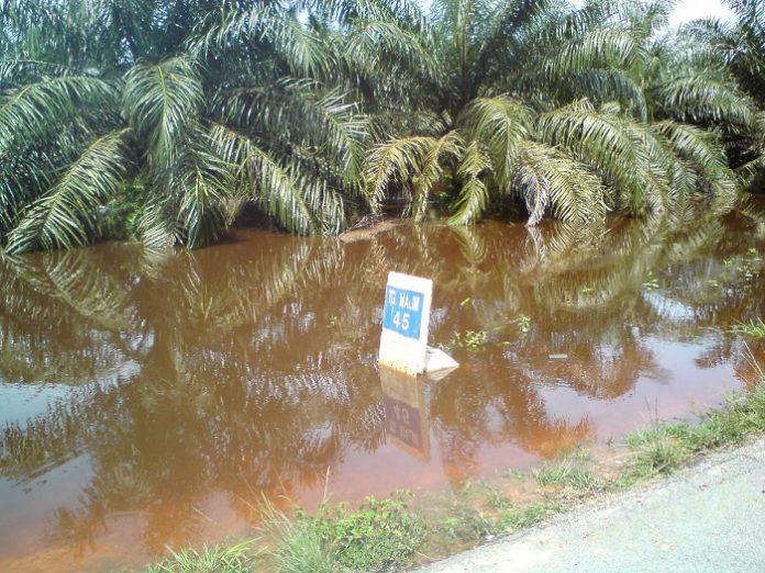 Dampak material terendamnya pohon sawit masyarakat menyebabkan buah sawit membusuk. Foto : ayanuts