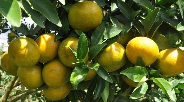 Jeruk RGL memiliki banyak keunggulan, di antaranya mempunyai cita rasa manis, asam dan segar dengan kandungan air yang banyak. Foto : Agrindoculture