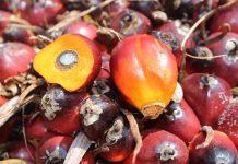 Industri kelapa sawit di Tanah Air mesti dibela dari segala kampanye negatif NGO yang merugikan dan tidak benar. Foto : Jos/tropis.co