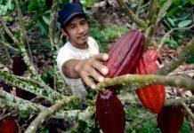 Guna menghasilkan produk kakao berkualitas maka dibutuhkan dibutuhkan sumber daya manusia yang berkompeten dan bersertifikat. Foto : Good News from Indonesia