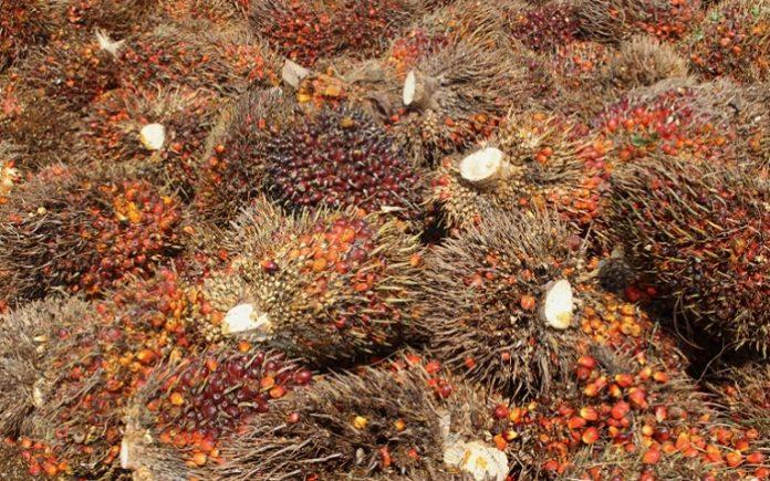 Jumlah produksi kelapa sawit Indonesia hingga akhir tahun 2018 diperkirakan mencapai 42 juta ton. Foto : Jos/tropis.co