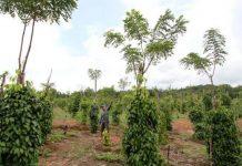 Menggunakan tajar hidup misalnya pohon karet, dadap, kapuk dan tanaman keras lainnya untuk mengurangi biaya pembelian tajar mati yang mahal. Foto : Tribunnews.com