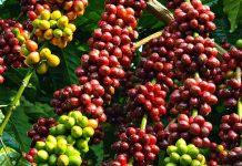 Luas lahan perkebunan kopi di Solok saat ini mencapai 6.900 hektare untuk jenis Arabica dan 11.000 hektare untuk Robusta. Foto : kinhtevadubao.vn