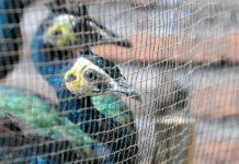 Tim Ditjen Penegakan Hukum Lingkungan Hidup dan Kehutanan (GAKKUM LHK) bersama aparat lainnya juga mengamankan 38 ekor merak biru (Pavo Cristatus), 25 ekor merak hijau (Pavo Muticus), 11 ekor merak silangan. Foto : Trubus.id