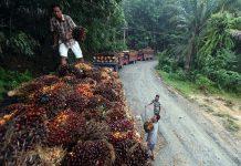 Peningkatan produktivitas kepala sawit harus dijadikan prioritas utama karena sejumlah negara terutama dari Eropa terus melancarkan serangan negatif dengan dalih komoditas ini merusak ekosistem hutan. Foto : Antara