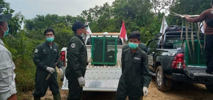 Secara total jumlah orangutan yang telah dilepasliarkan melalui Program Reintroduksi Orang Utan Yayasan BOS menjadi 402. Foto : KLHK
