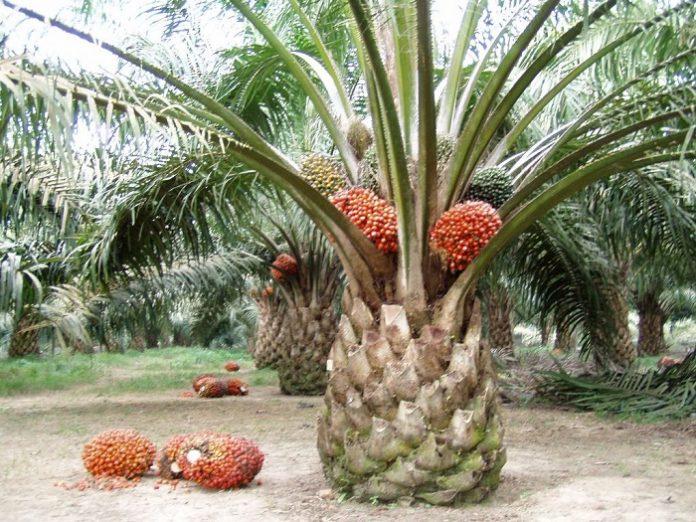 Kelapa sawit mampu mengangkat perekonomian daerah. Foto : Starberita.com