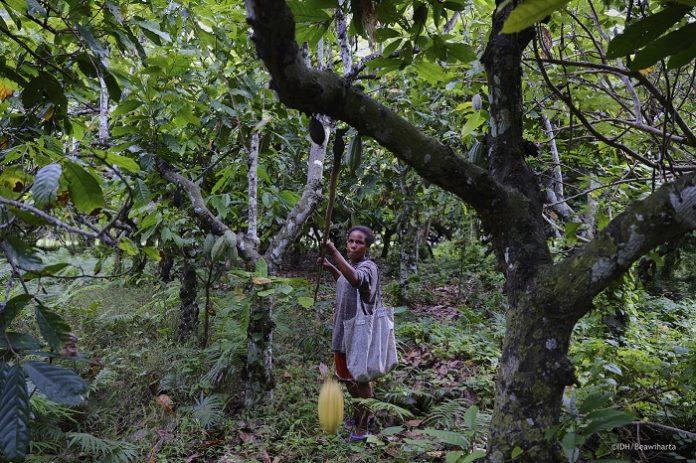 Komoditas coklat Papua bisa dikembangkan lebih jauh lewat kolaborasi antarpihak terkait. Foto: Yayasan Inisiatif Dagang Hijau