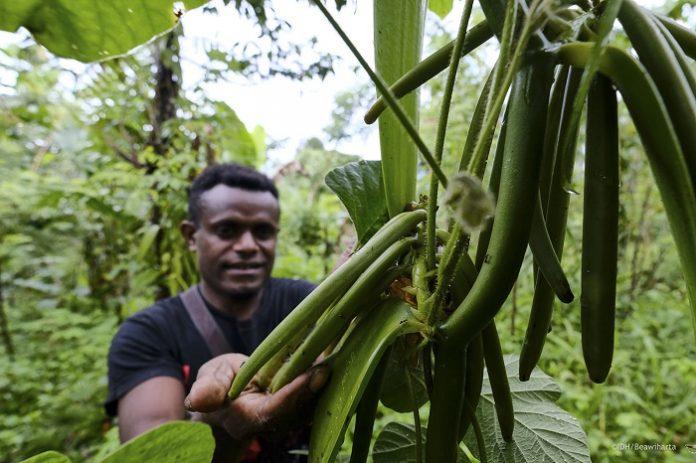 Vanili punya potensi menjadi komoditas yang mampu meningkatkan pendapatan daerah di Papua dan Papua Barat. Foto: Yayasan Inisiatif Dagang Hijau