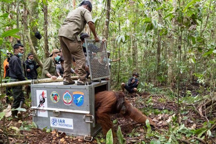 Tiga individu orangutan ditranslokasikan ke Bukit Kubang, Desa Batu Barat, Kec. Simpang Hilir, Kab. Kayong Utara. Bukit Kubang merupakan bagian dari Kawasan Taman Nasional (TN) Gunung Palung. Foto: KLHK