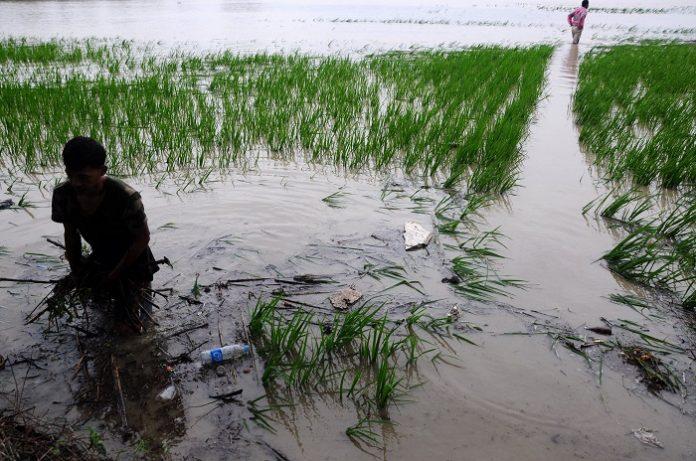 Petani menderita kerugian besar akibat bencana banjir yang menerjang sawah mereka. Foto;ANTARA