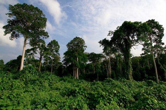 Luas deforestasi tertinggi terjadi di kelas hutan sekunder, yaitu 162,8 ribu hektare, di mana 55,7 persen atau 90,6 ribu hektare berada di dalam kawasan hutan dan sisanya seluas 72,2 ribu hektare atau 44,3 persen berada di luar kawasan hutan. Foto: kapau_pau