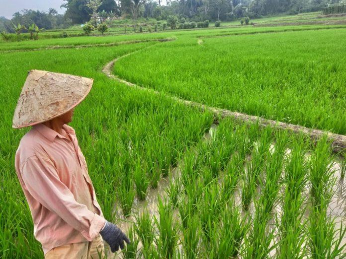 Berdasarkan Perda LP2B, kini lahan pertanian berkelanjutan di Provinsi Lampung seluas 369.549 hektare. Foto: harian mistar