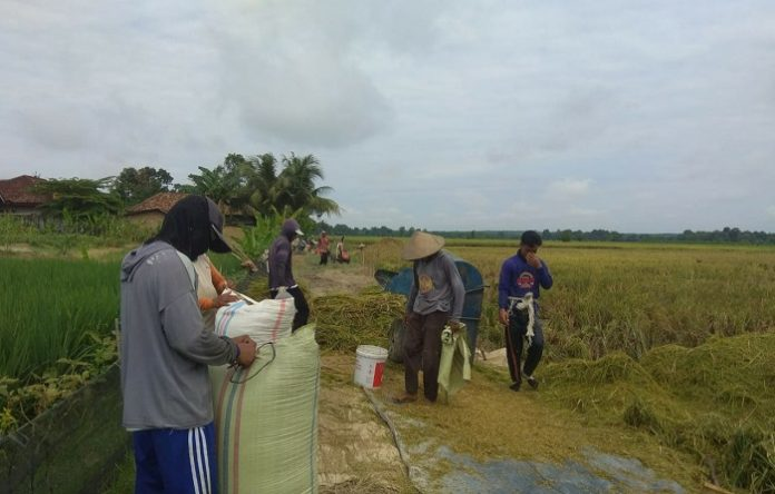 Saat ini hampir di sebagian besar kabupaten/kotadi Sumsel sedang berlangsung panen dan dilanjutkan dengan pengolahan tanah untuk persiapan tanam musim tanam berikutnya. Foto: monitor.co.id monitor