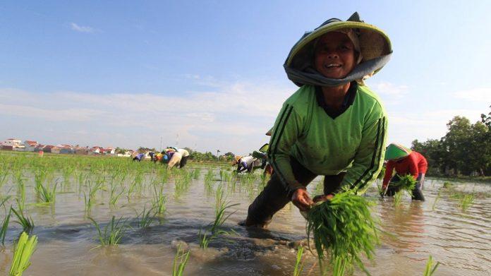 ara petani nanti bisa mendapatkan semacam insentif untuk melakukan tanam di musim pasca panen raya ini. Foto: ANTARA