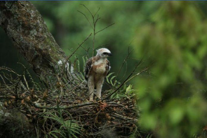 Anak burung Elang Jawa, Wira, yang kini berusia tiga pekan mulai mengepak-ngepak sayapnya dan mau terbang di sarangnya. Foto: KLHK