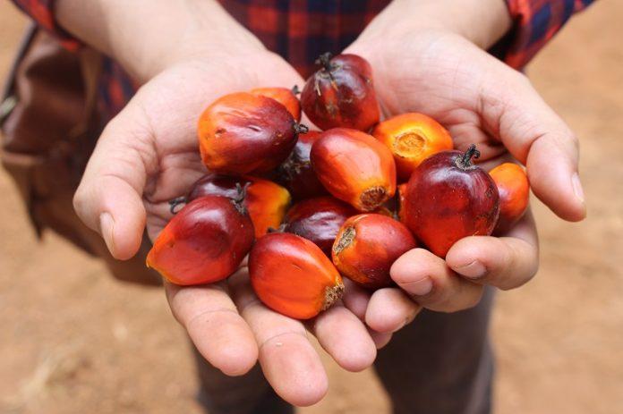 WHO tidak memiliki basis ilmiah yang mampu mengungkapkan bahwa kelapa sawit itu berbahaya bagi kesehatan. Foto: TROPIS.CO/Jos