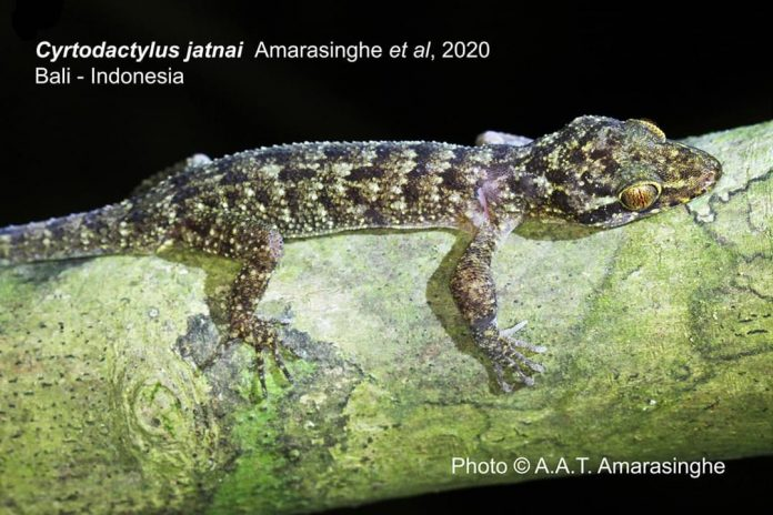 Reptil dari jenis Gecko Cyrtodactylus atau dalam bahasa lokal dikenal dengan nama tokek, di kawasan Taman Nasional Bali Barat (TNBB) merupkan tokek jenis baru. Foto: KLHK
