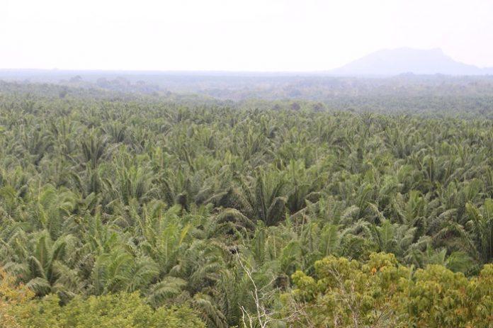 Persoalan legalitas lahan tersebut mencakup seperti lahan sawit pekebun swadaya terindikasi berada di kawasan hutan, belum memiliki legalitas SHM (Sertifikat Hak Milik), umumnya hanya berupa SKT (Surat Keterangan Tanah), dan belum ada STDB (Surat Tanda Daftar Usaha Perkebunan Untuk Budidaya). Foto: TROPIS.CO/Jos