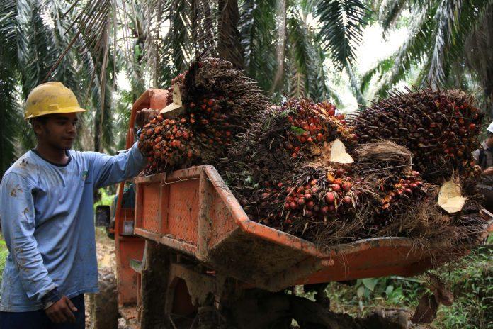 SMILE berupaya menjembatani kesenjangan pengetahuan petani swadaya dengan bermitra dengan mereka dan membangun kesuksesan yang telah ditunjukkan oleh perusahaan seperti Asian Agri dalam kemitraan jangka panjang mereka dengan petani kecil. Foto: Jurnal Asia
