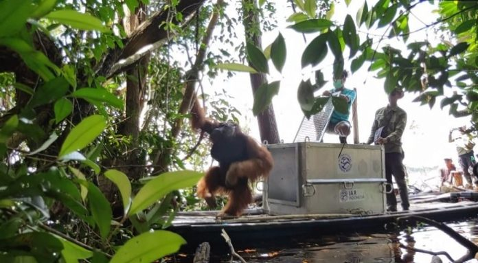 Selama tahun 2020, BKSDA Kalimantan Barat bersama YIARI telah melakukan 13 penyelamatan orangutan, ini merupakan kali ke-14 penyelamatan yang dilakukan secara bersama. Foto: KLHK