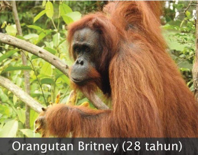 Orangutan betina bernama Britney (28 tahun) merupakan salah satu dari tiga orangutan yang dilepasliarkan ke Hutan Kehje Sewen di Kabupaten Kutai Timur, Kalimantan Timur. Foto: KLHK