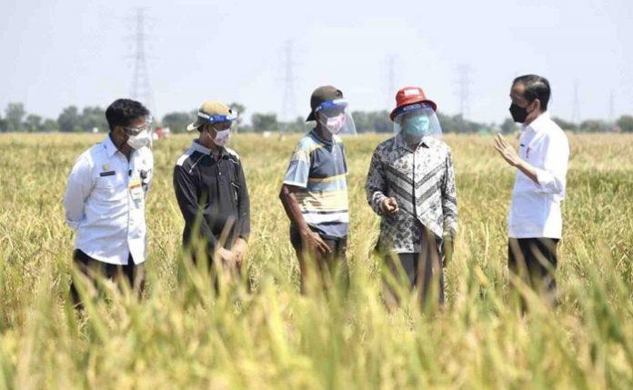 Selain meninjau panen bersama, Presiden Joko Widodo (paling kanan) juga sempat berdialog dengan sejumlah petani setempat. Foto: Kemenkominfo
