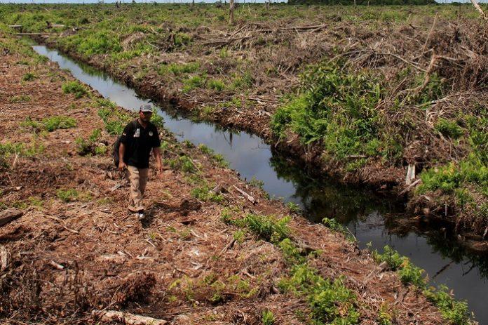 Lahan gambut menutupi hanya 3 persen dari permukaan tanah global, tetapi menyimpan sekitar 650 miliar ton karbon, sekitar 100 miliar ton lebih banyak dari gabungan semua vegetasi dunia. Foto: Media Indonesia