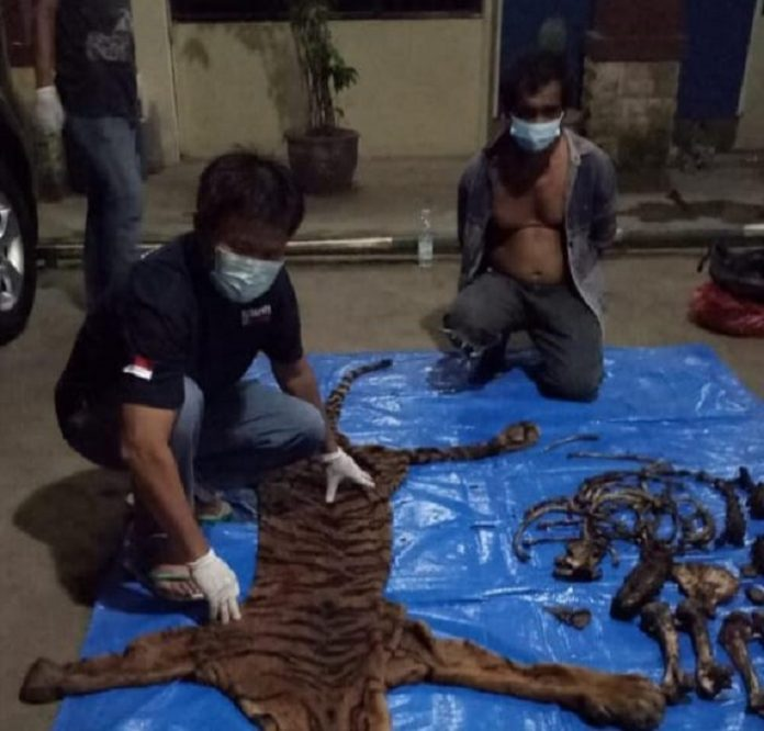 Tim Ditjen Gakkum KLHK menangkap MJY di Jalan Desa Lubuh Sini, Kecamatan Taba Penanjung, Kabupaten Bengkulu Tengah, yang sedang membawa dua kardus berisi kulit dan tulang harimau, lengkap kepala, badan, kaki dan ekor. Foto: KLHK
