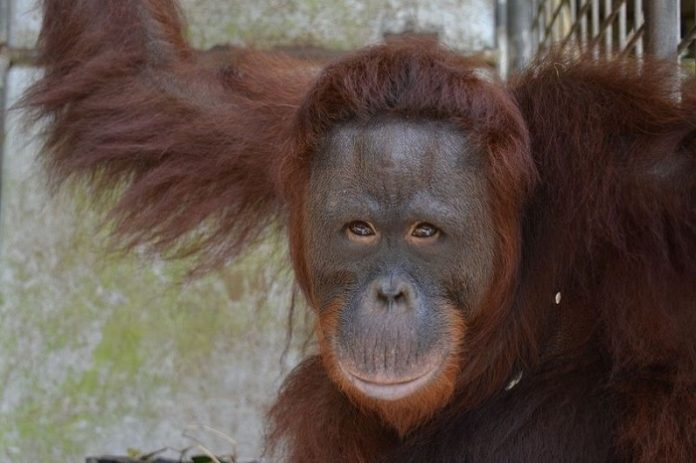 Keberadaan orangutan yang berhasil berkembang biak menjadi salah satu indikator kondisi hutan yang masih baik, tidak hanya untuk orangutan tapi juga satwa-satwa lainnya. Foto: KLHK
