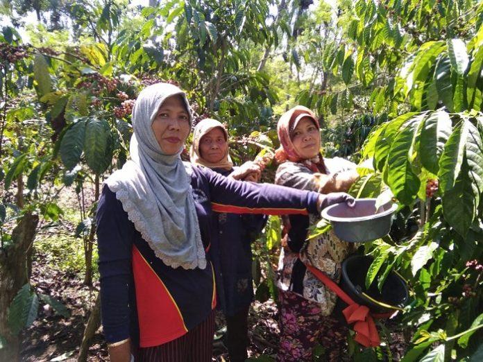Para petani kopi di kawasan Amstirdam Kabupaten Malang bisa bertahan dari dampak Covid-19 berkat diversifikasi perkebunan kopi mereka. Foto: IDH