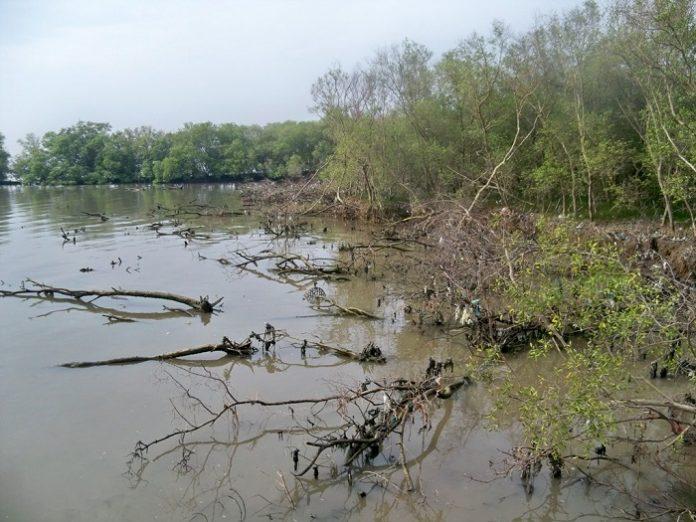 Luas hutan mangrove Indonesia mencapai 3,31 juta hektare dan dari luasan ini, teridentifikasi sekitar 600 ribu hektare diantaranya kritis. Foto: Aktual.com