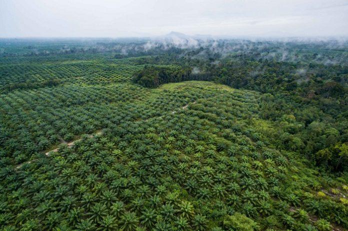Meskipun serangan terhadap industri kelapa sawit nasional sangat terasa, tampak ada dikotomi antara kelapa sawit sebagai produk pangan di satu sisi dan produk energi di sisi lain. Foto: Forest News