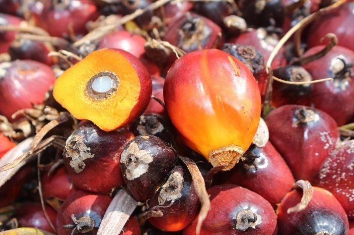 Kebijakan RED II – ILUC EU yang mengaitkan isu deforestasi secara berlebihan dan spesifik pada komoditas biofuel khususnya sawit dalam perdagangan internasional dapat dikategorikan sebagai praktek crop apartheid atau perilaku diskriminatif. Foto: TROPIS.CO/Jos